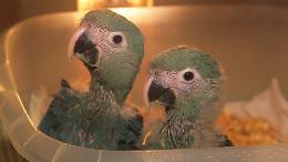 Einmaliges deutsch-brasilianisches Vogelschutzprojekt / In freier Natur ausgestorbener Spix-Ara soll ab 2021 wieder ausgewildert werden (VIDEO)